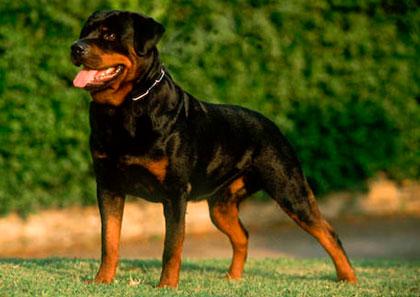 Comandos para Cães